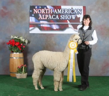 male alpaca for sale by Stone Bridge Farm, Griswold, C