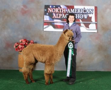 Male alpaca for sale by Stone Bridge Farm, Griswold, CT